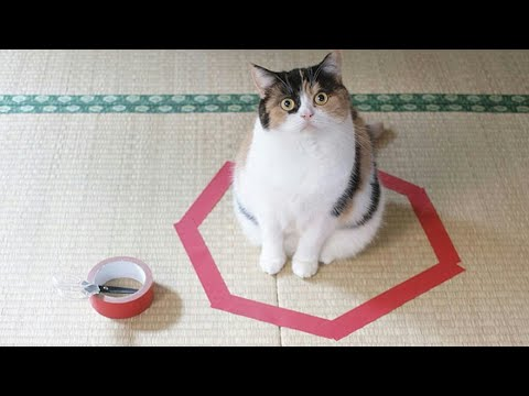 FUNNIEST CAT video Ever Be CAREFUL you may not stop LAUGHING