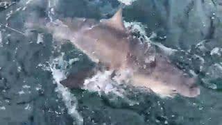 Huge Sharks with BlackTipH - LIVE