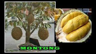 # TIS # BIKIN Durian Montong Kerdil Cepat Buah&Lebat Buah Dlm Pot Tanam,Rawat,Pupuk 