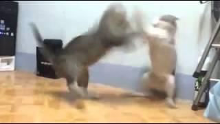 Gran Pelea De Gatos