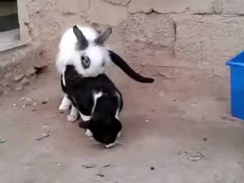 video chistoso conejo califa se tira al gato