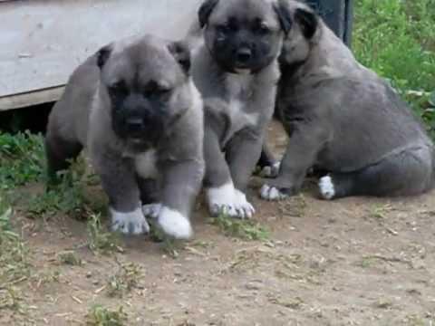 Kangal köpek yavrusu satışı ve fiyatları 0546 460 71 17