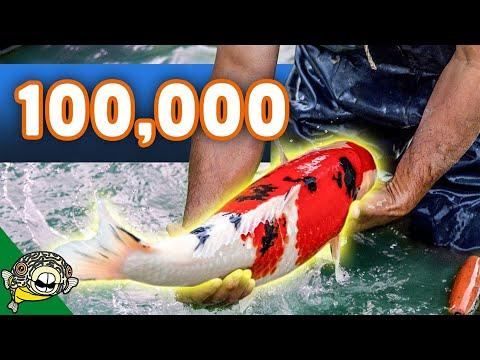 Xxx Mp4 100 000 Koi Fish Unboxing Over 50 Boxes Of Koi Beautiful Big Koi 3gp Sex