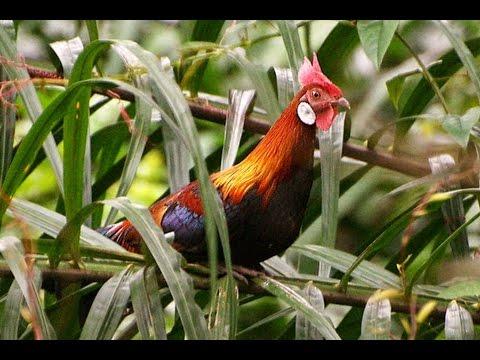 4 jenis Ayam Hutan paling langka di Dunia