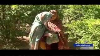 Iran Sangan village, Khash county, Harvesting Pomegranates برداشت انار روستاي سنگان ايران