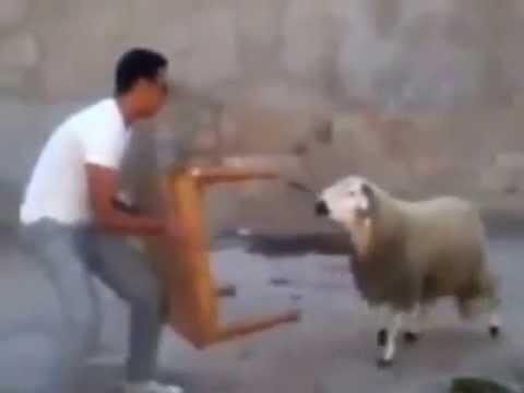 Kabch El 3ide mochagib كبش العيد المشاغب By abdouitaly