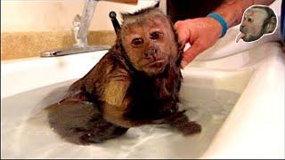 Capuchin Monkey Hot Relaxing Bath