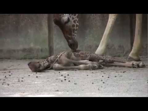 Nacimiento de una jirafa.wmv