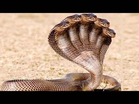 Xxx Mp4 ►5 Most Dangerous Snake In The World✓ 3gp Sex