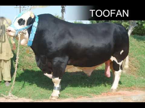 Xxx Mp4 SHAH CATTLE FARM COW MANDI 2009 LATEST MUST CHECK 3gp Sex
