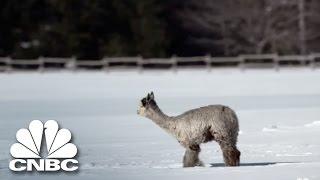 The Cost Of Raising Alpacas | Blue Collar Millionaires