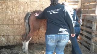 TURNING A COLT INTO A GELDING part 1 of 6