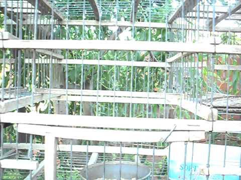 cardenal imperial el pimienta de luis jaula