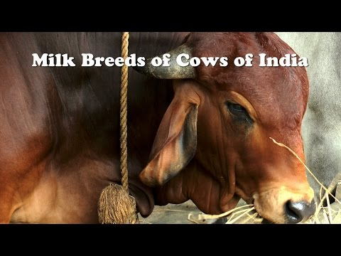 Milk Breeds of Cows of India