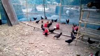 Mini chicken farm for family in Bangladesh
