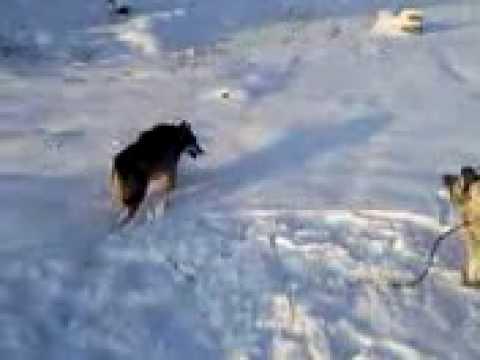 Ujku me qenin