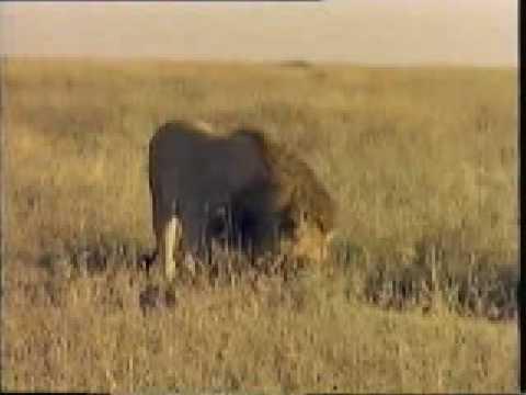 Lions Fight Pelea De Leones 2