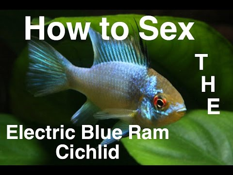 Xxx Mp4 How To Sex The Electric Blue Ram Cichlid 3gp Sex