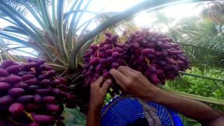 الخراف في بركة الموز