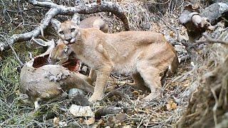 Mountain Lions feeding on a fresh kill!