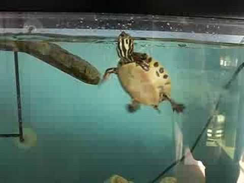 Baby Yellow Belly Slider Terrapin Swimming