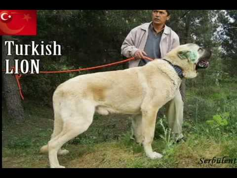 Turkish Kangal The biggest Dog in the World HQ