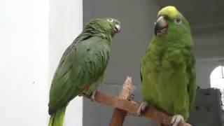 Parrot sings Shape of you   Ed Sheeran.
