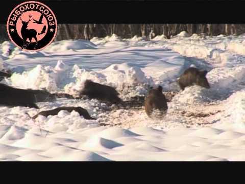 Охота на кабана Видео.