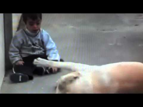 Dog & Boy - Yellow Lab and Child  With Down Syndrome Interact