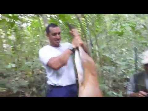 Barking Deer hunting Borneo