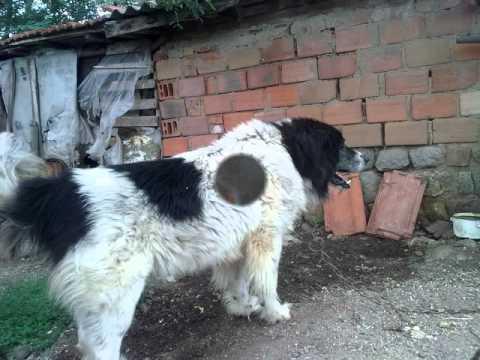 Bulgarian Shepherd Dog.wmv