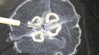 Jellyfish and Anemone Anatomy (Cnidaria)