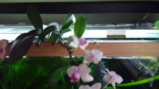 Aquaponic phalaenopsis