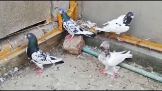 BANKAA BAREEDER JOORA OR PATHIYAA HIGH FLYER PIGEONS