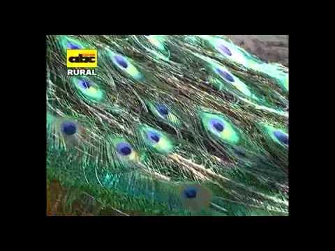 Cría de aves exóticas El Pavo Real