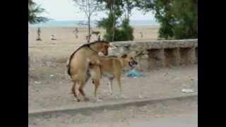 bode cobrindo cadela (lobito compão).mpg