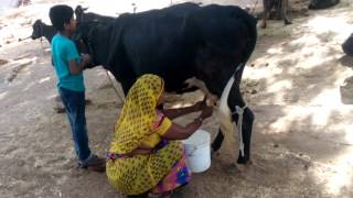 Indian Village How To Get Woman Cow Milking Video