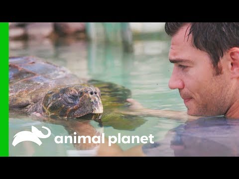 A Sea Turtle Named Tortilla Has A Buoyancy Issue Evan Goes Wild Passion and Purpose