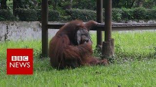 Indonesian orangutan smokes a cigarette thrown by zoo visitor - BBC News