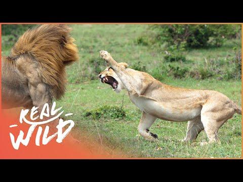 Predators In Peril Big Cat Documentary Real Wild