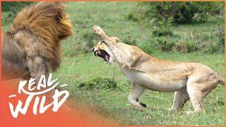 Predators In Peril [Big Cat Documentary] | Wild Things