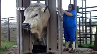 Primitive  Intelligent & Modern Cow Farming