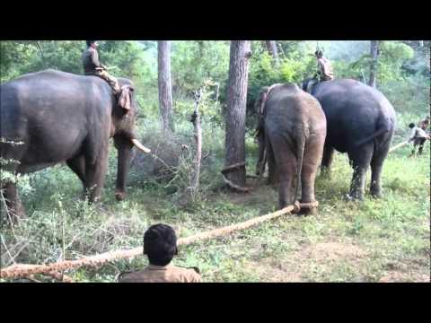 Resuming Problem Elephant into Home Range Film