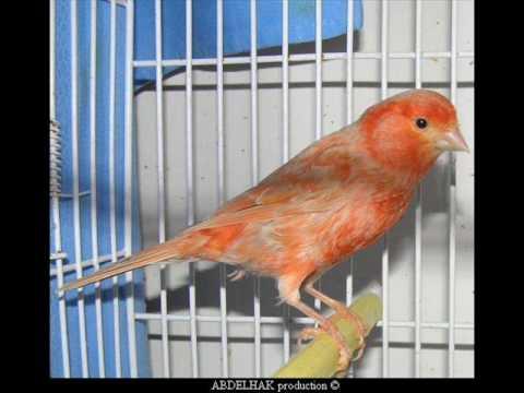 ABDELHAK production les canaris de couleurs