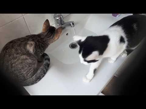 Xxx Mp4 1min Video Katzen Am Waschbecken Wasser Neugierig 3gp Sex