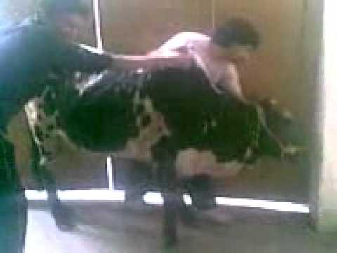 Funny Cow Ki Qurbani