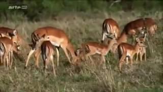 la savane africaine documentaire animaux sauvages film en entier   HD les lions et les gnous