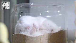 寝うんこハムスター。【ハムスター/ジャンガリアン】/Hamster POPO which defecates while sleeping.