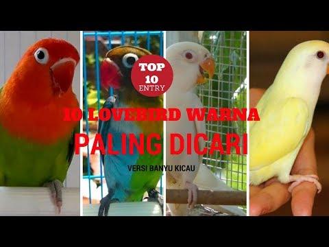 TERNYATA INI 10 LOVEBIRD WARNA PALING DICARI