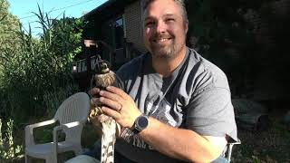 Catching a Hawk For Falconry!